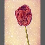 Tulipa I (unframed image size: 15cmx17.5cm)